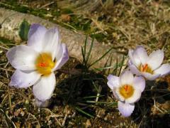 花びら全開のクロッカス