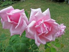 バラ「ラ・フランス」の花