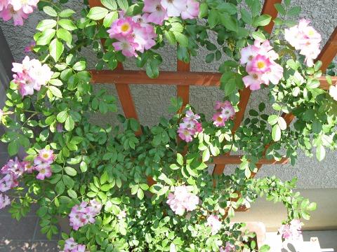 ツルバラ「バレリーナ」の花