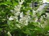 プリペットの花