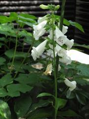 ジギタリスの花
