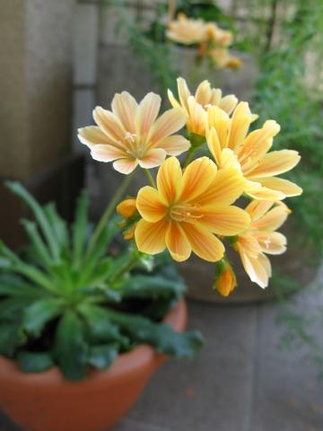 レウシアの花