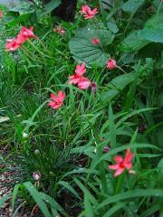ヒメヒオウギの花