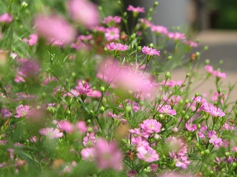 カスミソウの花