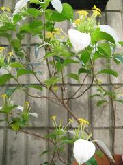 コンロンカの花