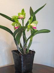 ミニカトレア「Fin-green」の花