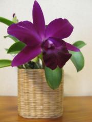 ミニカトレア「Maui Maid」の花