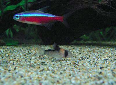 アドルフォイの稚魚