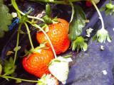 鈴なりイチゴ