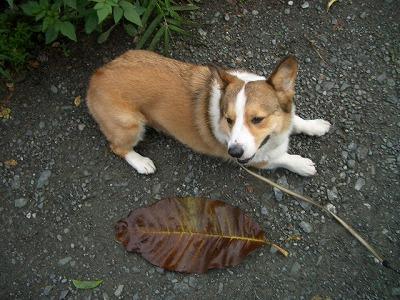 なかなか大きな葉っぱだゼ☆