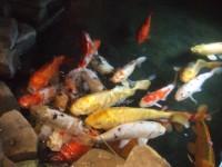 20080817還暦祝い鯉
