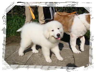 グレードピレニーズの仔犬