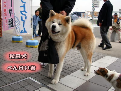 秋田犬、べんけいくん
