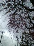 曇天としだれ桜