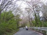 やや桜のトンネル