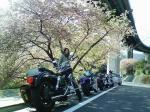 河津桜とバイクたち
