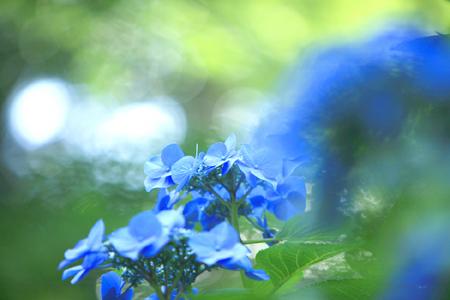2008 紫陽花