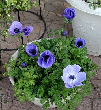 きれいな青紫