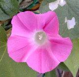 ピンクの朝顔