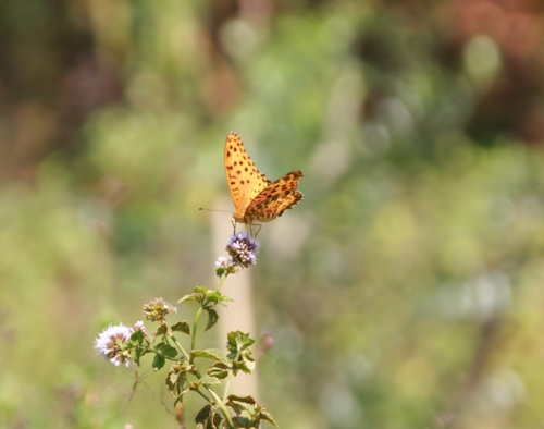 ハーブと蝶
