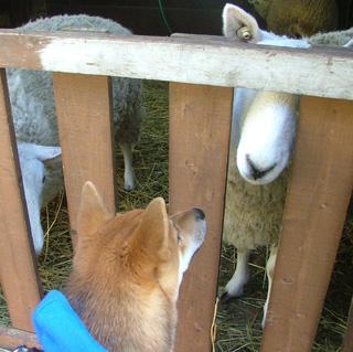 羊さんコンニチハ