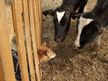 牛:なんだちっこいの?  平:え、えーっとΣ(・ε・;)