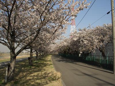 桜のトンネルね♪