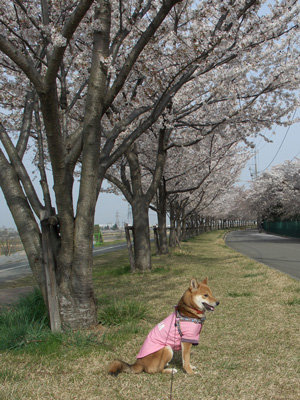 桜吹雪が映ってないワン