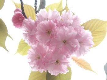 八重桜さんアップ