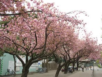 八重桜の皆さん