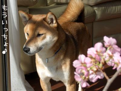 日本の犬には日本の花がよく似合う♪