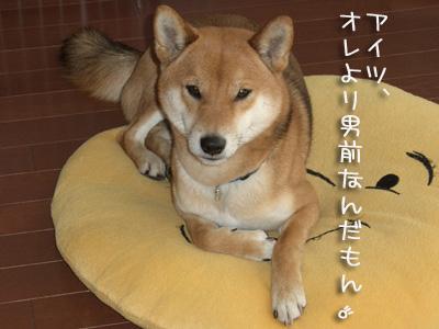 しょうがないじゃない 日本犬なんだしー♪