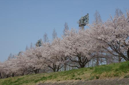 だいぶお疲れの桜さん