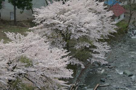 桜が見ごろ♪
