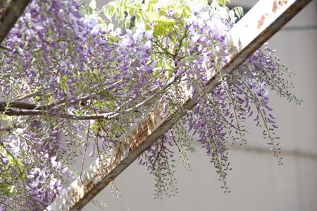 藤の花咲いてます