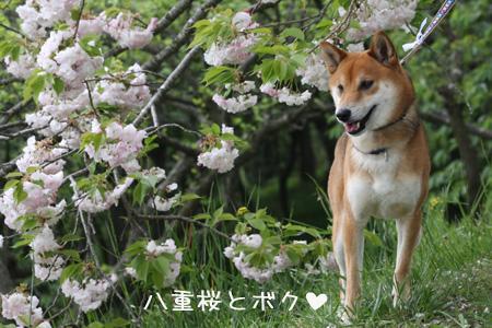 桜がまだ咲いてたよー
