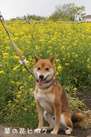 菜の花とボク