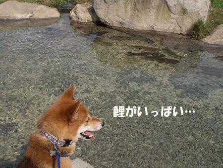 鯉がいっぱい