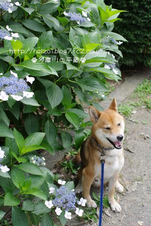 紫陽花とボク2