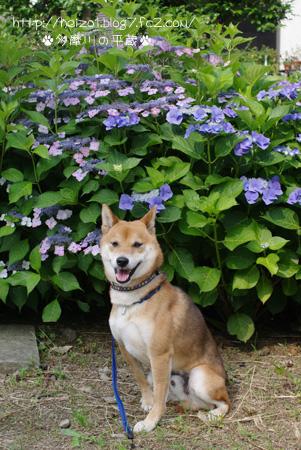紫陽花とボク4