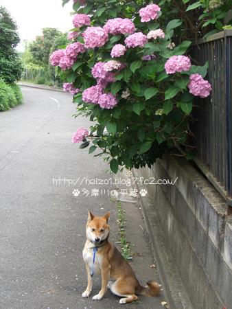 紫陽花とボク5