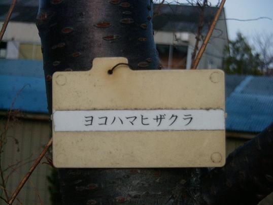 060329sakura3.jpg