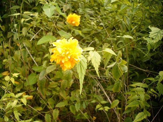 ヤマブキ(八重咲き)