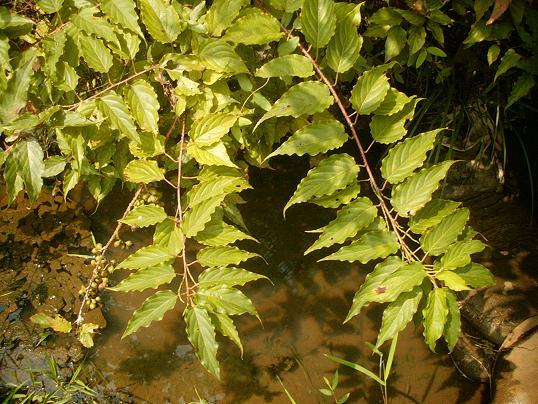 キブシの葉
