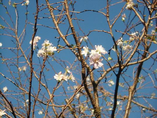 十月桜・満開?