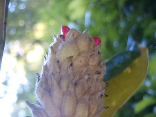 タイサンボク・実・赤い種