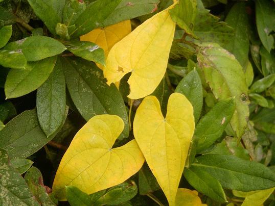 ヤマノイモ・黄葉