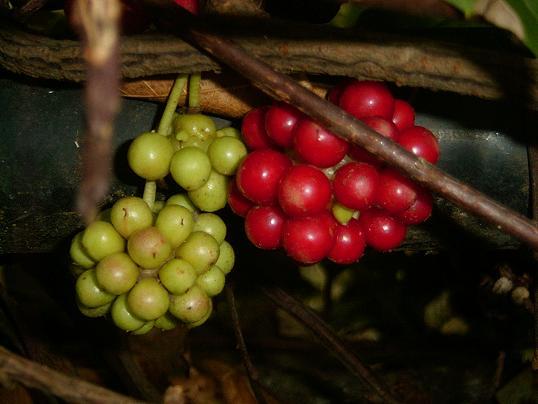 サネカズラ・青い実+赤い実