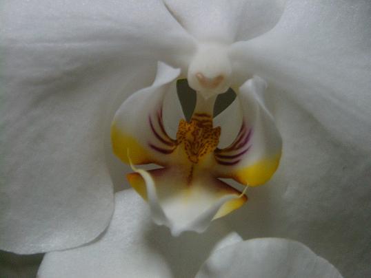 胡蝶蘭・開花