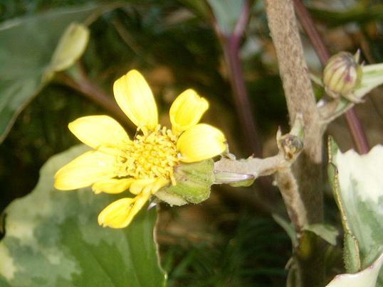 ツワブキ・黄色い花